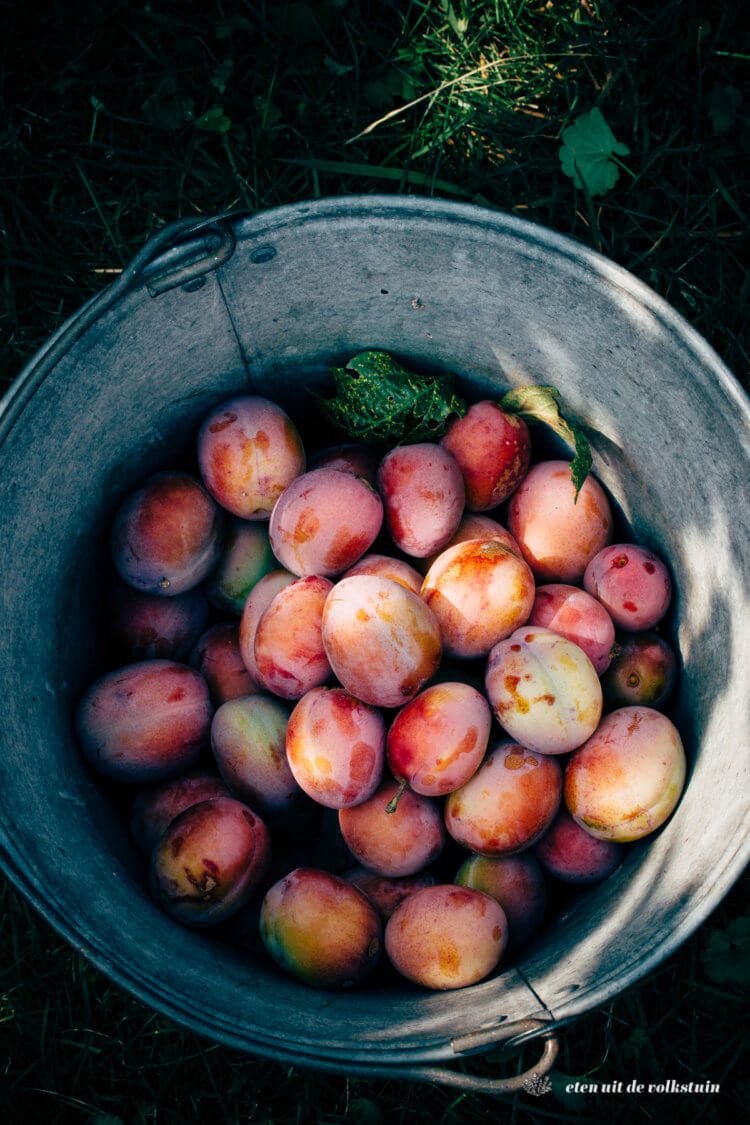 Pruimen plukken, picking plums