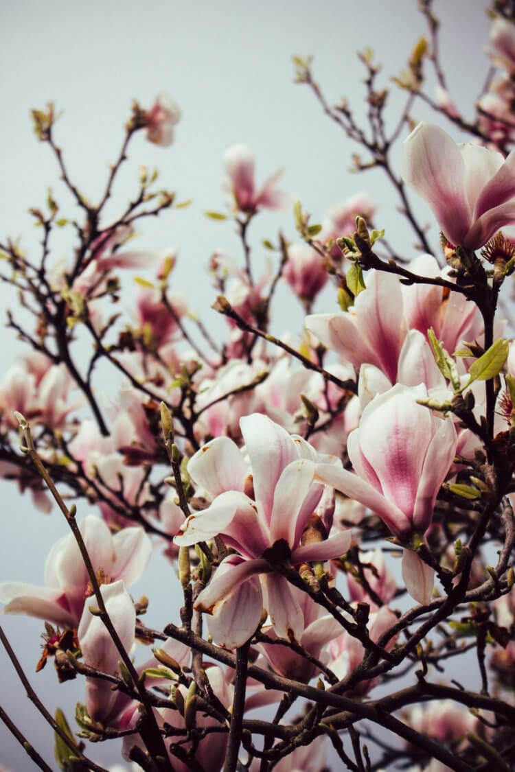 Magnolia bloesem