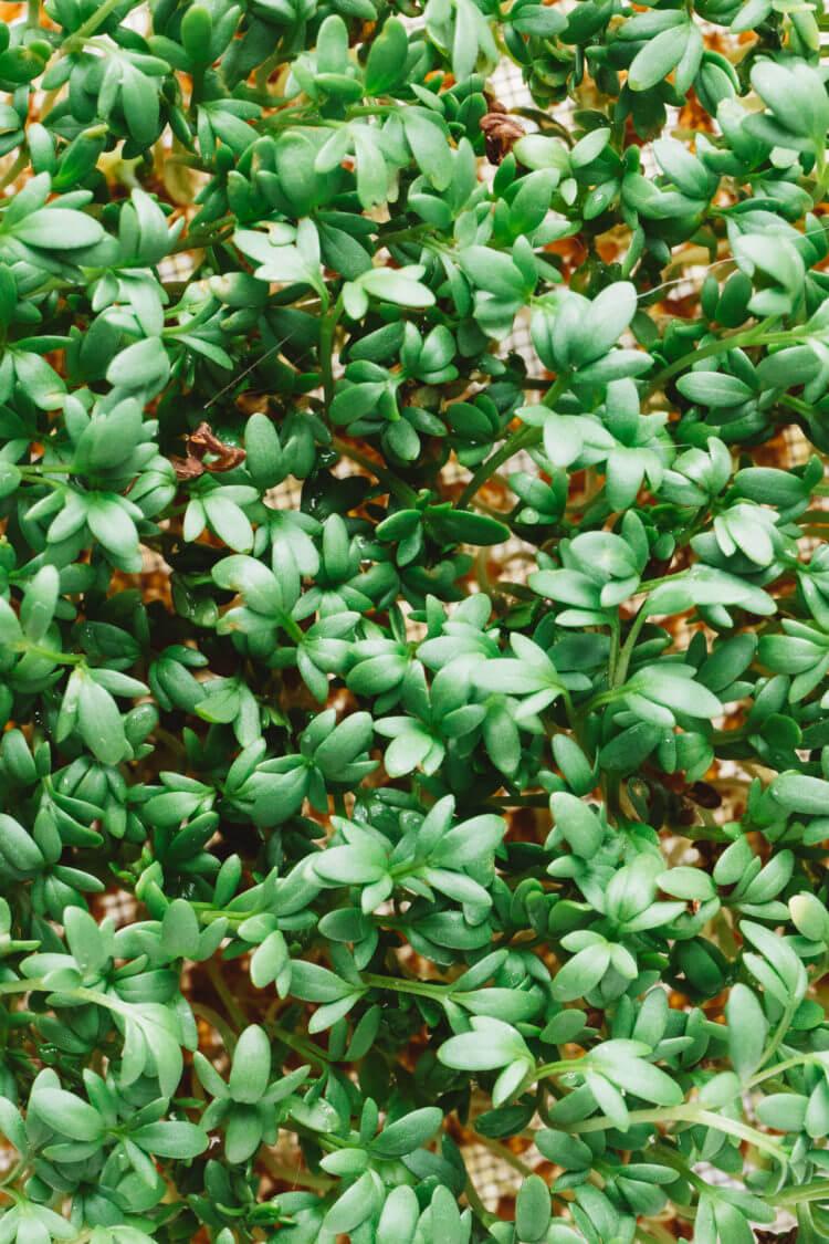 Zelf kiemgroenten kweken, tuinkers