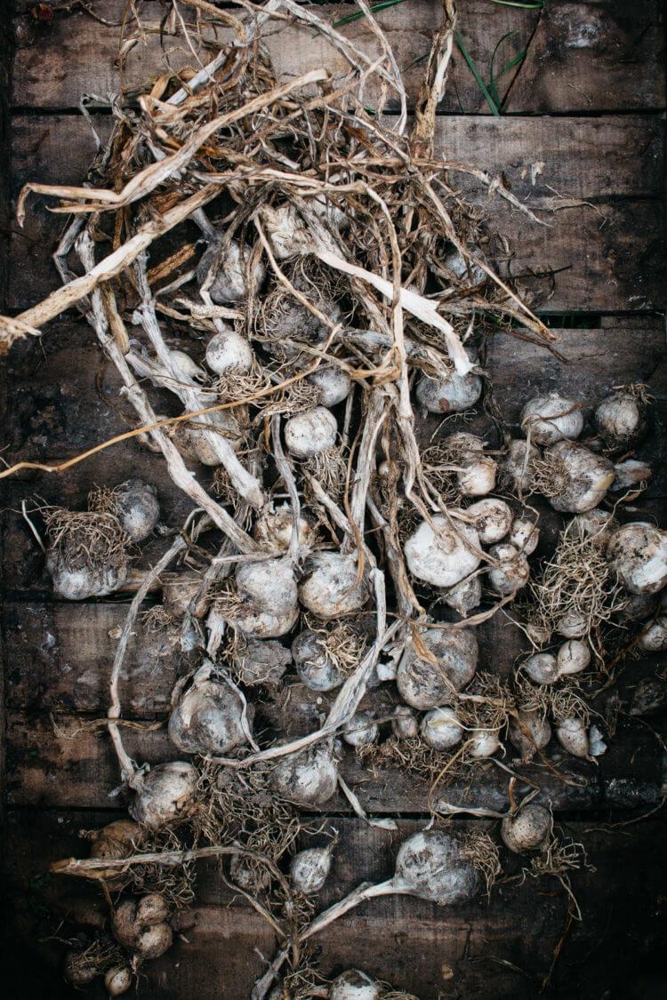 Knoflook oogst